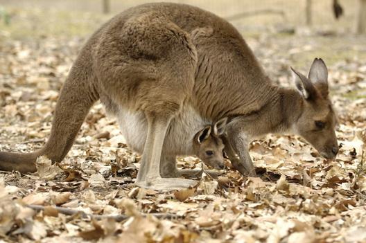 Kangaroo One