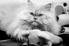 G8047 (Piez ) Tags: bw pet cat kat feline chat gato neko katze  gatto  kot         blackwhitephotos  superbmasterpiece
