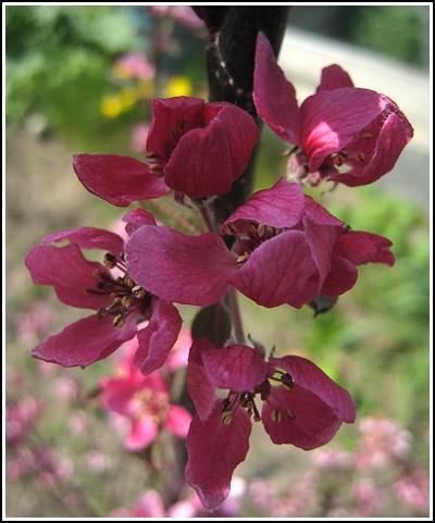 crabappleblossom copy