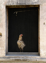 How much is that chicken in the window?