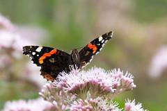 En attendant l'été prochain (mout1234) Tags: fleurs macro papillon photo saintquentinentourmont nordpasdecalaispicardie france fr