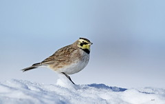 Alouette hausse-col / Horned Lark (alain.maire) Tags: oiseau bird neige snow hiver winter alaudidae eremophilaalpestris alouettehaussecol hornedlark nature quebec canada