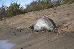 Seal Monk (i_goupil) Tags: hawaii bigisland kalaoa verte animal aquatique plage beach sable sand ocean water eau phoque monkseal seal