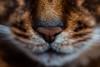 Luke (Katherine Ridgley) Tags: macro detail cat cats face catface nose whiskers feliscatus felissilvestriscatus felis felidae carnivore carnivora mammal mammalia animal animalia domesticcat purebred purebreed purebredcat abyssinian abyssiniancat ruddyabyssinian ruddy usualabyssinian usual maleabyssinian malecat