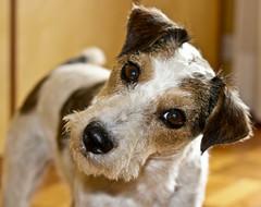 Billa (nepalbaba) Tags: portrait dogs nature face expression natura ritratto cani muso billa faccia espressione mywinners aplusphoto goldstaraward paololivornosfriends nepalbaba mikytzworld