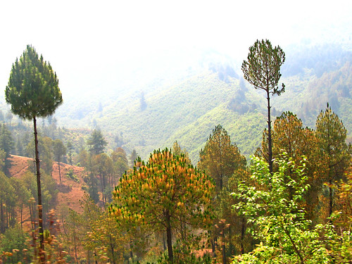 Trees trimmed of lower branches on the mountainside, Nepal