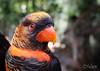 Orange Lorikeet Closeup (FLPhotonut) Tags: cute bird nature pose lorikeet parrot aviary buschgardenstampa colorfulfeathers sigma1770 canon50d