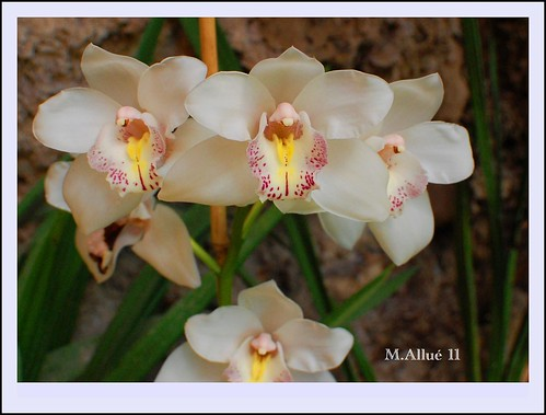 Orquídeas by Miguel Allué Aguilar