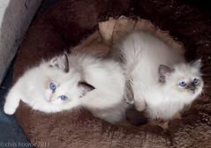kittens 3 (froomey) Tags: cats pets animals blueeyes kittens felines ragdoll carnivores olympuse30 ragdollkittens olympuszuiko40150mmlens