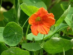 #7263 nasturtium () (Nemo's great uncle) Tags: flower tokyo flora  tropaeolum  nasturtium majus kinutapark   setagayaku tropaeolummajus tky
