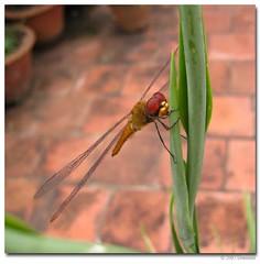dragonfly (Archana Ramaswamy) Tags: ramaswamy archana dementa archanaramaswamy