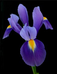 iris... (Tish...) Tags: blue iris black flower macro yellow laetitia fantasticflowers flowerotica 35faves 25faves mywinners colourartaward exquisiteimage