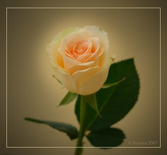 in the spotlight (Roszita) Tags: macro rose bokeh cream clsoeup 25faves inthespotlight beautifulcapture mywinners abigfave flickrgold platinumphoto aplusphoto superbmasterpiece flickrdiamond empyreanflowers floralexcellence thatsclassy scarletrose77 everydayissunday theperfectphotographer