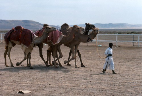 Camels being led by boy