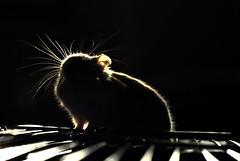 The evil Dark (aZ-Saudi) Tags: shadow dark nikon evil arabic saudi arabia hamster d200 ksa  arabin  arabs