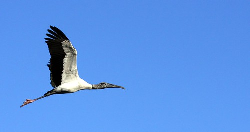 Wood Stork (Mycteria americana), seen at Wilmington Island Golf course pond on December 5, 2007