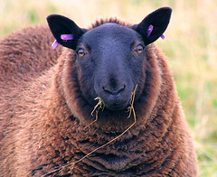 Lend a girl some floss won't ewe! (foxypar4) Tags: brown black green grass scotland purple sheep stuck teeth sutherland floss ewe blueribbonwinner dentalfloss eartags lochfleet mywinners abigfave impressedbeauty aplusphoto lmaoanimalphotoaward platinumheartaward