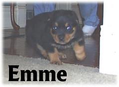 e2 (muslovedogs) Tags: dogs puppy rottweiler teaara zeusoffspring