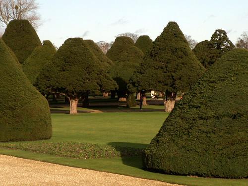 Taxus bacatta - Yew - Hampton Court