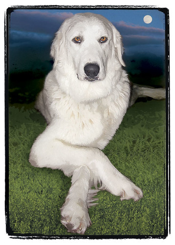 "Great Pyrenees  ""Luna"""