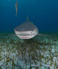 Lemon shark (Ken Bondy) Tags: shark underwater fins lemonshark