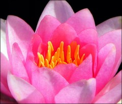 Reaching.... (Mary Trebilco) Tags: pink flowers petals waterlily lily explore stamen tasmania handheld longford 12xzoom woolmersestate canonpowershots3is macroflowerlovers qualitypixels playingwithmisssim