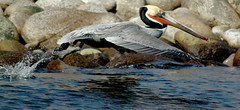 Baja California (Macorig Paolo) Tags: birds mexico bajacalifornia takeoff the4elements