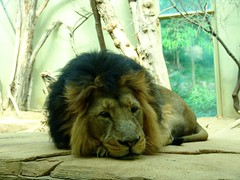 panthera leo persica (Joachim S. Mller) Tags: animal cat germany mammal deutschland zoo hessen leo lion katze tier lwe frankfurterzoo panthera pantheraleo sugetier pantheraleopersica zoofrankfurt indianlion kaschi indischerlwe groskatze