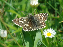 Grizzled Skipper (M)