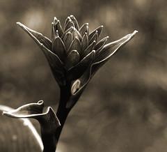 Hosta_sepia_DSC_7303 (Stephan WINKLER) Tags: bw nature monochrome sepia natur monochrom hosta nahaufnahme funkie herzlilie schwarzweissfoto hostablte