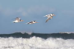 Terns In Flight (Mimi Ditchie) Tags: beach bird birds workshop terns royalterns flight ocean wave composite reallyonlyone