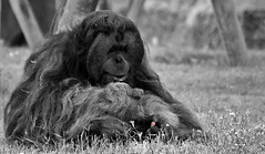 He Loves me, He Loves me not ......... (Andy Gant) Tags: hss sliderssunday happysliderssunday bwphotography bw bwimages bwimagesfromaroundtheworld selectivecolour daisy daisies countingdaisies orangutan orangoutang ape flower lisbon zoo