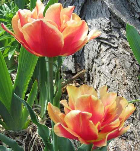 Funky tulips