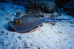 CB036267 (tberlinersuniboy) Tags: fish berlin animals coral photography ray underwater stingray redsea indianocean colorphotography nobody seaanemone invertebrate bluespottedstingray taeniura