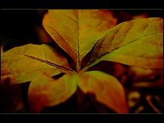 Leaf in colours (Kirsten M Lentoft) Tags: autumn fall leaf chestnut outstandingshots impressedbeauty momse2600 flickrelite wonderfulworldmix thegoldenmermaid kirstenmlentoft