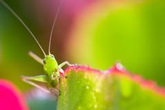 Little Katydid (olvwu | ) Tags: atlanta usa ga georgia grasshopper nymph katydid jungpangwu oliverwu oliverjpwu olvwu jungpang