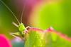Little Katydid (olvwu | 莫方) Tags: atlanta usa ga georgia grasshopper nymph katydid jungpangwu oliverwu oliverjpwu olvwu jungpang 莫方 吳榮邦