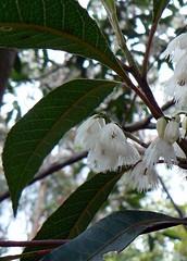 Elaeocarpus reticulatus. (Monocotyledon) Tags: badge nsw queensland blueberryash elaeocarpaceae elaeocarpus australianplants rainforesttrees australianrainforestplants australianrainforesttrees elaeocarpusreticulatus nswrfp qrfp whitearfflowers