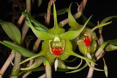 Dendrobium tobaense 'Rio Verde' (Eric Hunt.) Tags: red orange orchid flower green orchidaceae dendrobium dendrobiumtobaenserioverde dendrobiumtobaense