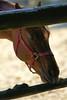 草競馬の馬