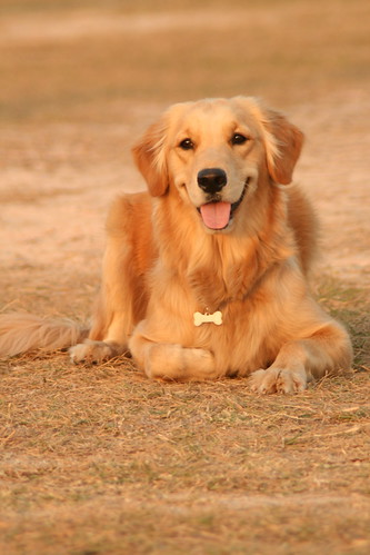 Golden Retriever, Golden Light.