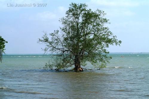 DSCF9254 solitary mangrove