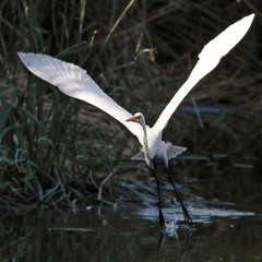 Freedom (Life of David) Tags: california white lake bird nature beauty freedom flying losangeles los angeles alba none wildlife great ardea vannuys canon5d freedomofspeech gliding balboa graceful takeoff egret wingspan greategret sepulveda wildlifepreserve ardeaalba weekendouting firstamendment naturesfinest freedomofchoice sepulvedabasin canon400mmf56 outstandingshots avianexcellence sepulvedawildlifereserve thatsclassy homelessencampment betterthangood sepulvedabasinisdangerous wildhumansliveinthebushes ramblingtags wwwdavidlevinsonphotographycom