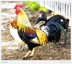 colorful cock (NymphoBrainiac) Tags: california colors roadtrip cock rooster hdr sanjuanbautista christmas2007 chickenscalifornia