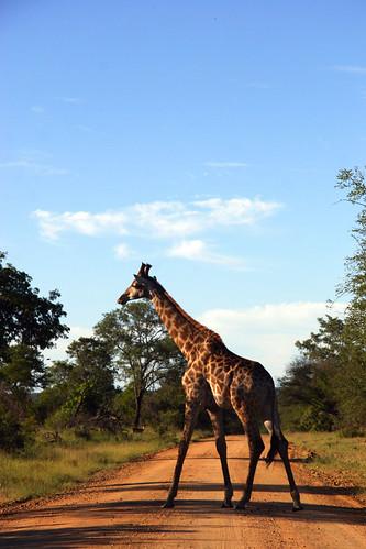 Giraffe in road