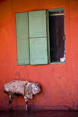 The sheep and the window, Dire Dawa, Ethiopia (Eric Lafforgue) Tags: africa red orange house window vertical photography day sheep nobody nopeople ethiopia mouton tribo fenetre afrique hornofafrica eastafrica thiopien vibrantcolor etiopia ethiopie etiopa colorimage diredawa lafforgue  traveldestination etiopija ethiopi  etiopien mg4255 etipia  etiyopya
