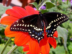 Butterfly (jamos_57) Tags: flowers orange black nature butterfly top20butterflies top20everlasting