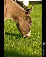 (lutty moreira) Tags: portrait green nature grass sandiego eating donkey ears seaworld flickrsbest wwwluttyphotocom