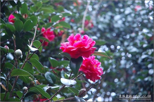 DSC_7319茶花