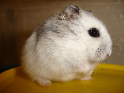 white dwarf hamster with red eyes - photo #44